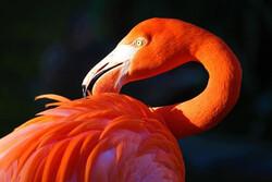 «مرغ آتش» آماده نمایش شد/ معرفی یک زیستگاه جدید فلامینگو