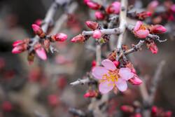 İran'da badem ağacı çiçeklerinden fotoğraflar
