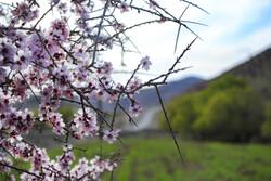 Prunus scorpia blossoms in Cahrmahahl and Bakhtiari