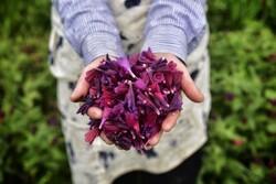 Harvesting 'echium amoenum' in N Iran