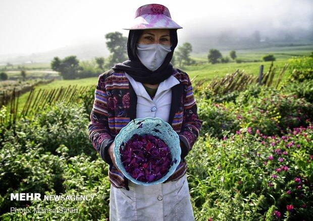 """حصاد عشبة """"رأس الافعى"""" في مزارع شمال ايران"""