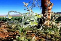 سرما به ۵ هزار هکتار از اراضی کشاورزی خراسان جنوبی خسارت زد