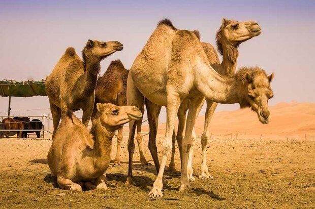 توسعه پرورش شتر در شهرستانهای کویری اصفهان/صادرات محصولات تولیدی