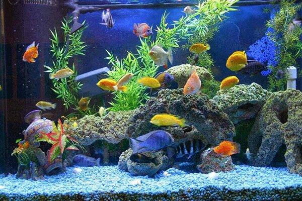 صادرات ماهیان زینتی آذرشهر به کشورهای همسایه