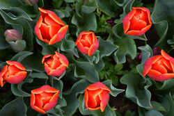 Mesmerizing tulip garden in Arak