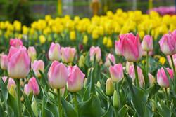 Erak'taki lale çiçeklerinden göz alıcı fotoğraflar