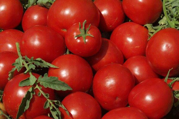 امسال ۱۳۰ هزار تن گوجه فرنگی در استان همدان تولید شد