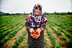 Gülistan eyaletinde çilek hasadı başladı