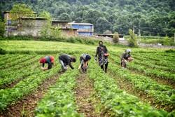 Harvesting 'strawberry' in Golestan province