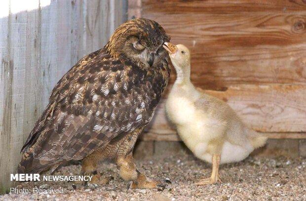 دوستی های زیبا و عجیب بین حیوانات