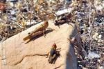 هجوم ملخهای صحرایی به روستاهای شهرستان جاسک