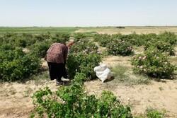 آغاز برداشت گل محمدی از سطح ۱۲ هکتار مزارع شهرستان مهولات