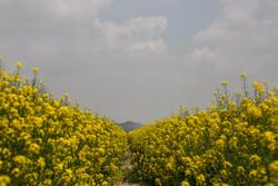 مراکز خرید کلزا در جوار روستاها ایجاد شود
