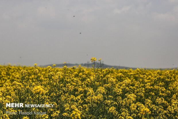 Rapeseed fields in Razavi Khorasan Province