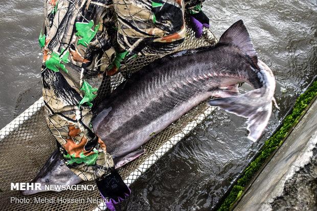 مزرعه پرورش ماهیان خاویاری بندر آستارا