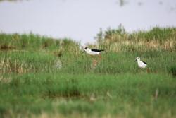 Revived Hawz Mereh wetland hosts migratory birds