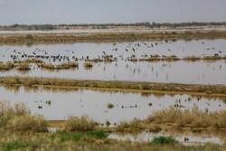 پرندگان مهاجر آبزی در  تالاب یعقوب آباد افزایش یافت