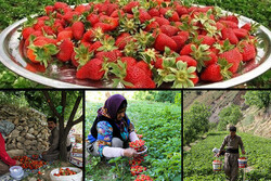 توت فرنگی کاران کامیارانی سالانه ۱۱ هزار تن محصول برداشت میکنند