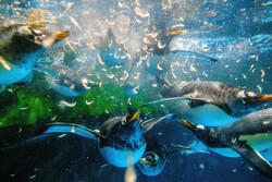 زندگی پنگوئنها در پارک اوشن هنگ کنگ
