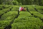 پیش بینی برداشت ۱۳۰ هزار تن برگ سبز چای در سال جاری