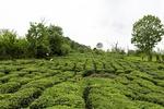 ۱۲۶ هزار تن برگ سبز چای امسال خریداری شد