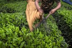 ایران میں چائے کی پتیاں جمع کرنے کی فصل کا آغاز