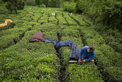 Harvesting tea in Gilan province