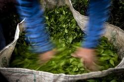 میزان عرضه و تقاضا تعیین کننده نرخ چای در بازار است