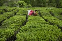 چین دوم بهاره برگ سبز چای در باغات شمال/ برداشت ۵۴ هزار تن