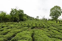 تهدید چای ایرانی با واردات