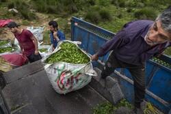 بررسی پیشنهاد ورود برگ سبز چای به بورس در مجلس