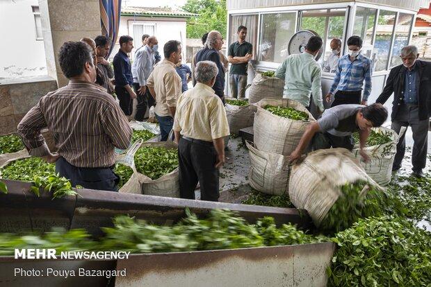 برداشت چای بهاره از مزارع گیلان
