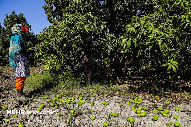 mango hasadı