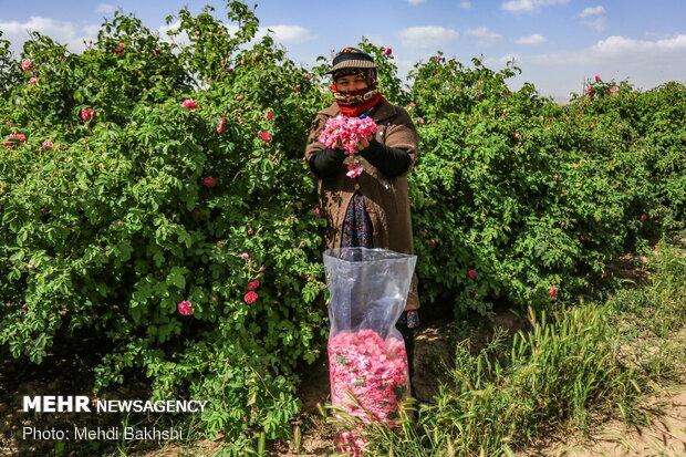 Harvesting Damask rose in gardens donated to Fatima Masumeh shrine