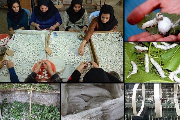 افزایش ۱۹ درصدی تولید پیله تر ابریشم در کشور