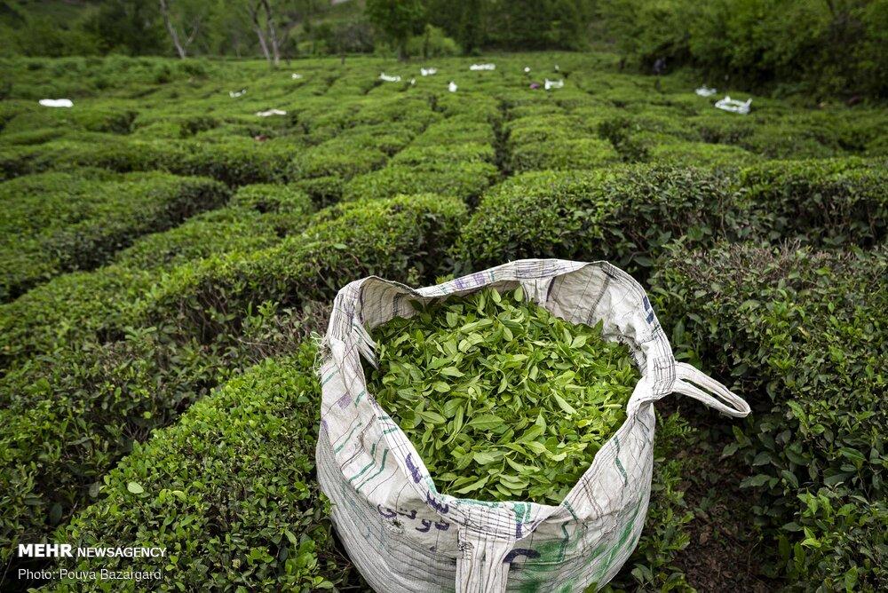 ۸۳ درصد مطالبات چایکاران پرداخت شد/ آغاز چین تابستانه از ۲۰ مرداد