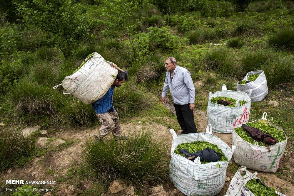 فرانسه و آلمان مقصد چای شمال/ تغییر کاربری بلای جان باغات