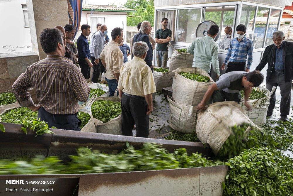 پرداخت ۸۵ درصد از مطالبات چایکاران استان های گیلان و مازندران