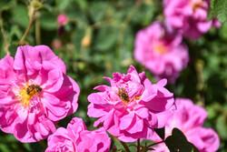 «قیزل گول»هوای آذربایجان غربی راعطرآگین کرد/تولید ۸۰۰هزار تن گلاب