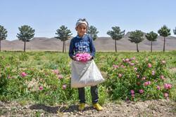 صوبہ مرکزی میں گل محمدی کو جمع کرنے کی فصل کا آغاز