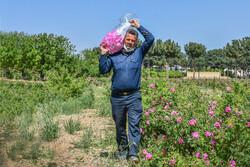 ۱۷ هزار نهال گل محمدی در میامی توزیع شد