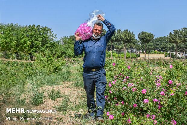 برداشت گل محمدی در استان مرکزی