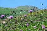 برداشت ۱۰۰ تن گیاه بادرنجبویه دارویی در شهرستان مراغه