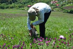 آغاز برداشت گل گاوزبان از باغات اشکورات رودسر