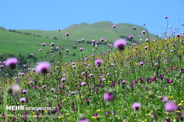 Harvesting borage herb in Gilan province