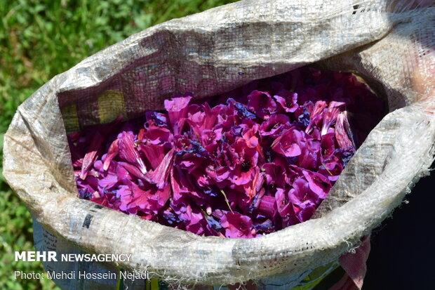برداشت گیاه دارویی گل گاو زبان در شهرستان مرزی آستارا