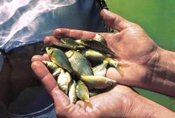 تولید ۲۵میلیون قطعه بچه ماهی دراستان/۱۵واحدتولیدی فعال است