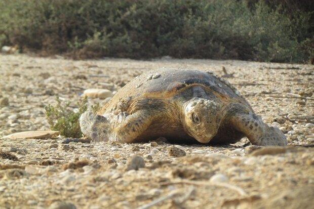 جاسک شہر کے ونک ساحل پر کچھووں کی موت