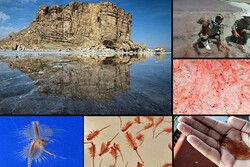 تداوم حیات تنها موجود زنده دریاچه ارومیه/ بیم و امیدها ادامه دارد
