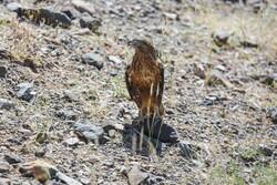 چهار گروه صیاد حرفهای پرندگان شکاری در خراسان رضوی دستگیر شدند